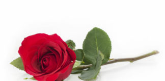 a single red rose on a white background