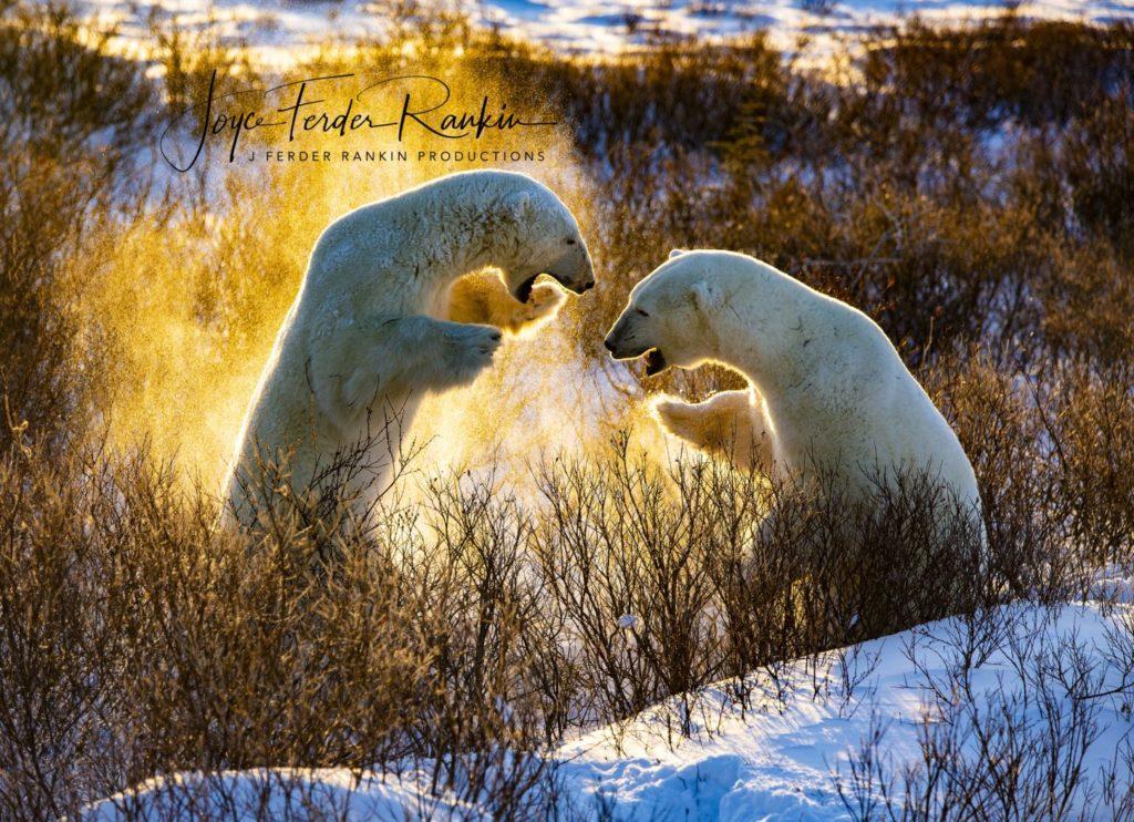 photo of polar bears by Joyce Ferder Rankin