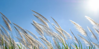 Reeds moving in wind